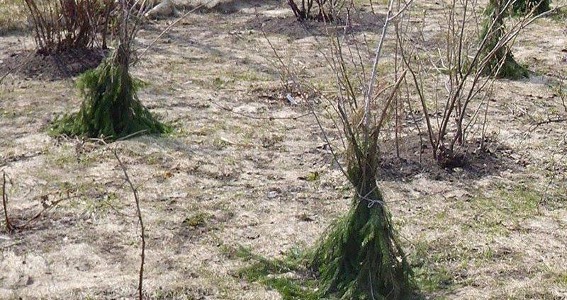 Лапник вокруг деревьев