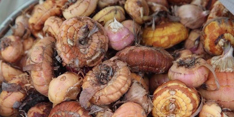 Как хранить луковицы гладиолусов зимой