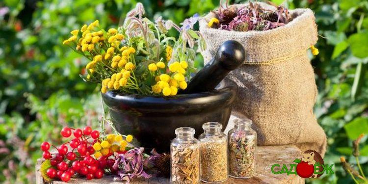 Какие лекарственные растения для сада и огорода посадить осенью