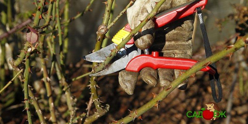 5 главных ошибок в подготовке роз к зиме