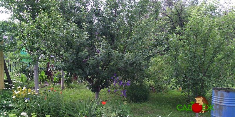Совместная посадка деревьев: что с чем нельзя сажать