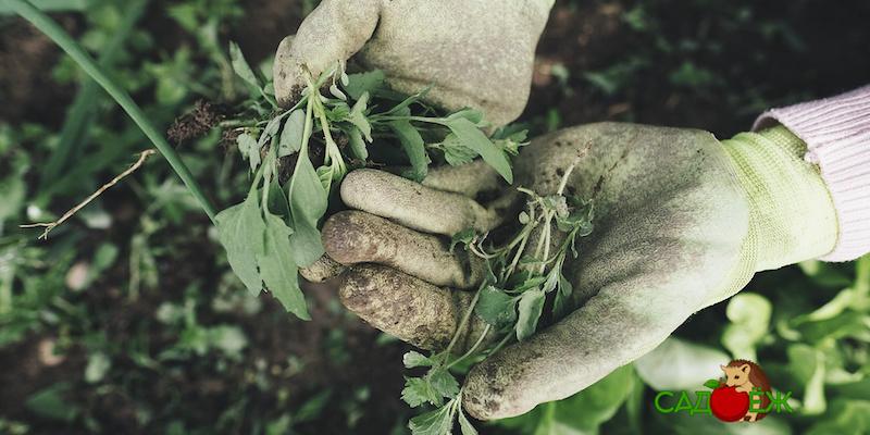 Как самостоятельно определить кислотность почвы по сорнякам?