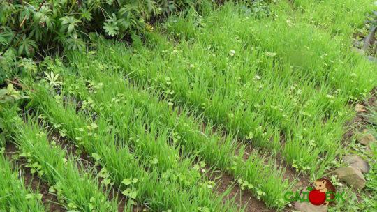 Вред и польза сидератов для огорода