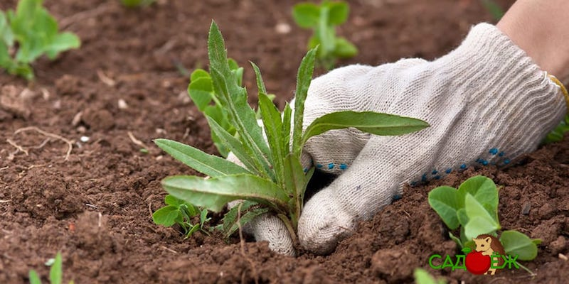 Сорняки у соседей: как защитить от них свой огород