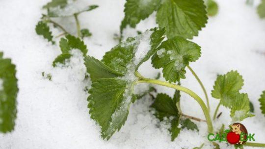 Надо ли укрывать клубнику на зиму