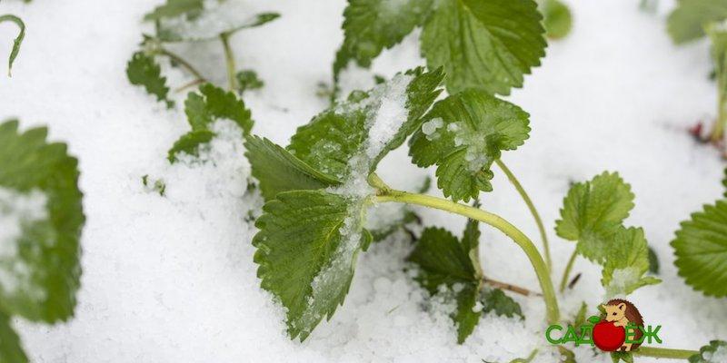 Укрывают ли клубнику на зиму и чем это сделать?