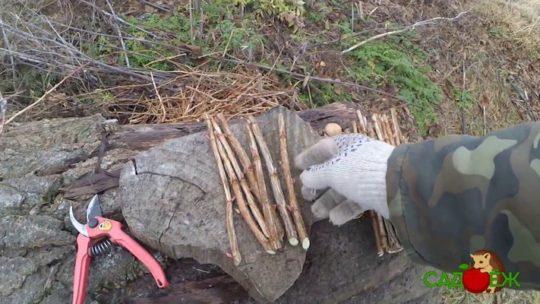 Заготовка черенков смородины и крыжовника осенью