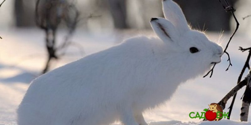Защита деревьев от зайцев и грызунов зимой