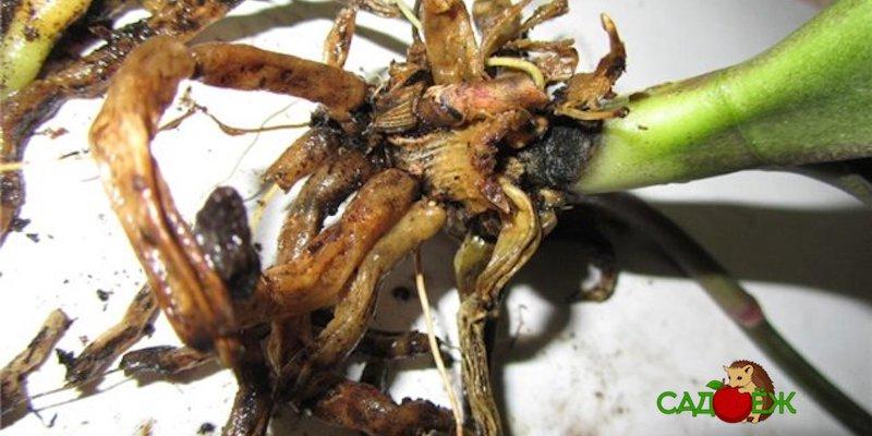 Гниют корни у орхидеи: что делать?