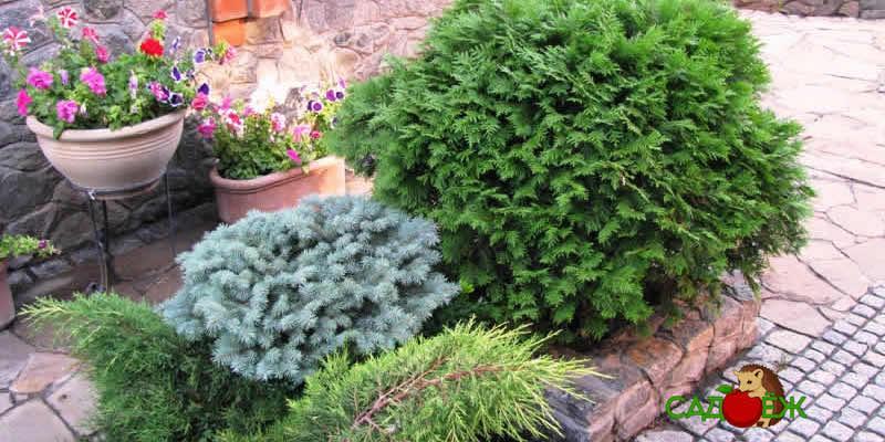 Какие хвойные растения посадить на даче
