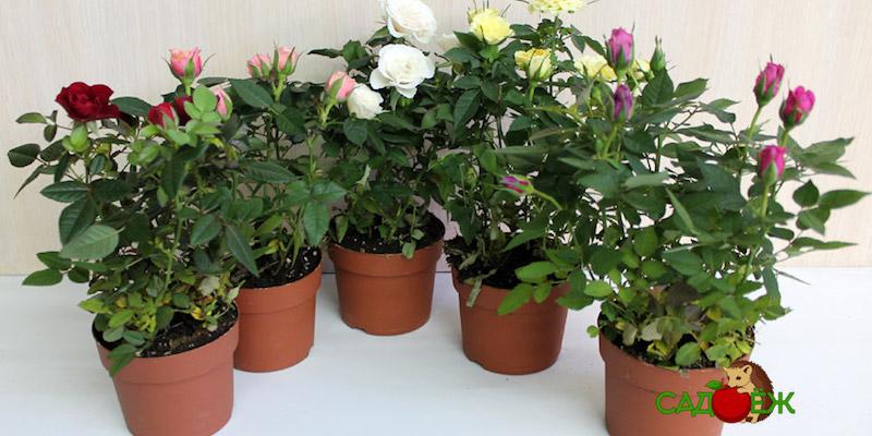 Как ухаживать за комнатными розами?