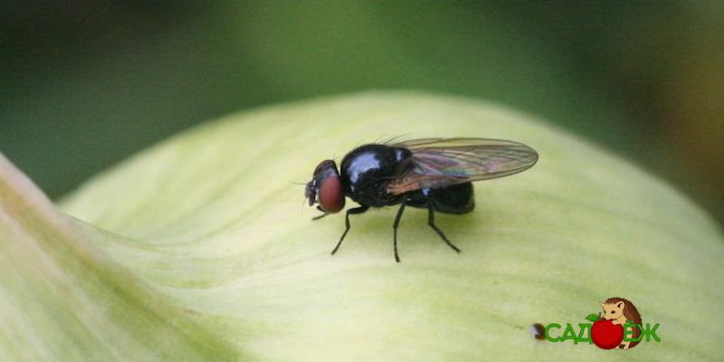 Как избавиться от луковой мухи в огороде