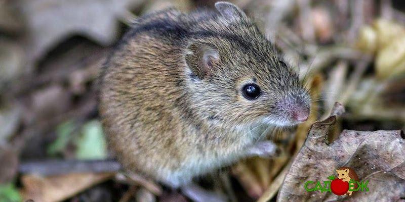 Какие запахи не переносят мыши?