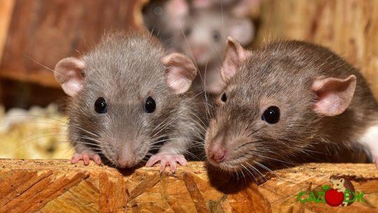 Как избавиться от мышей в дачном доме