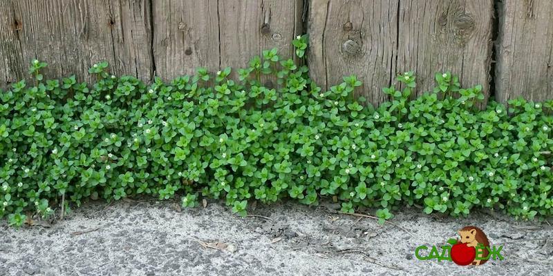 Как избавиться от мокрицы на огороде?