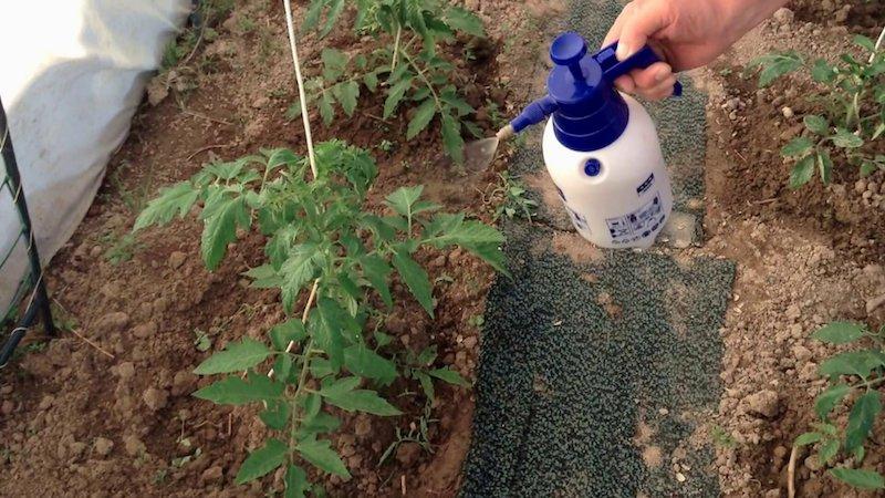 Чем обработать томаты от фитофторы