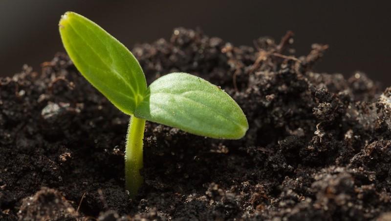 Как и когда посадить огурцы на рассаду?