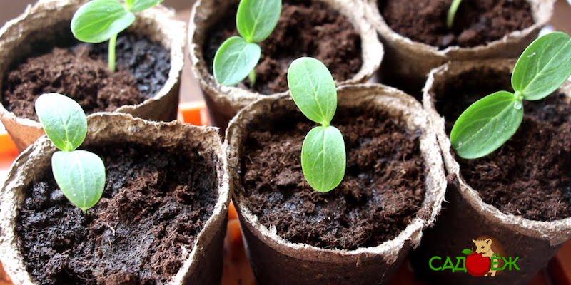 Посев огурцов на рассаду: 5 главных правил