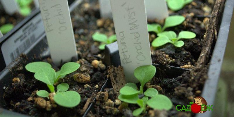 Когда и как сажать петунию на рассаду?