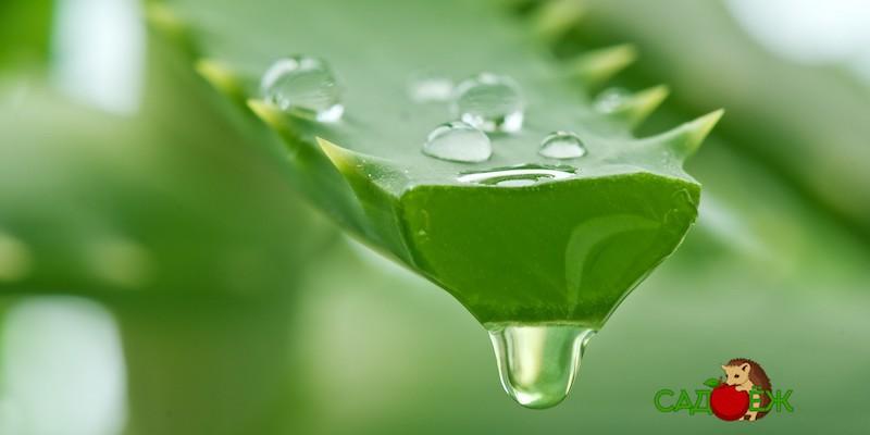 Применение сока алоэ для здоровья и в огороде