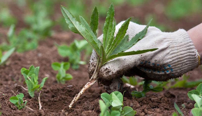 Осот - полезный сорняк