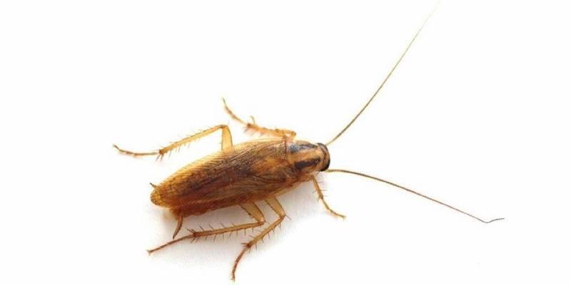 Жимолость против тараканов
