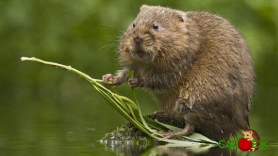 Водяные крысы на огороде