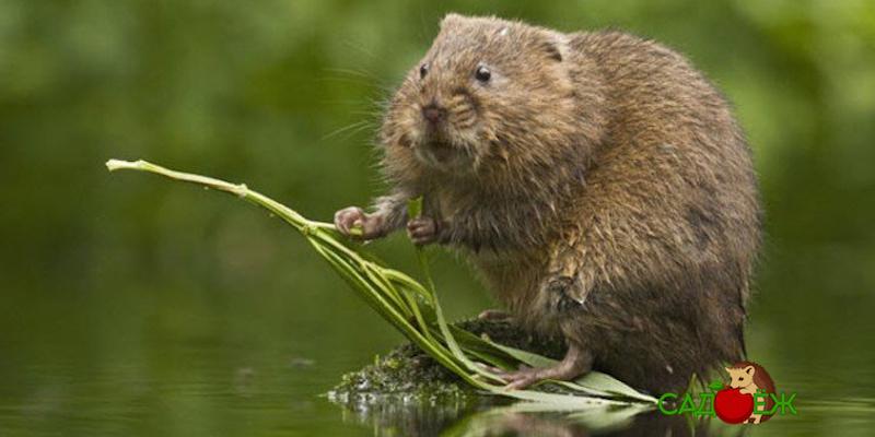 Как прогнать водяных крыс с дачного участка?
