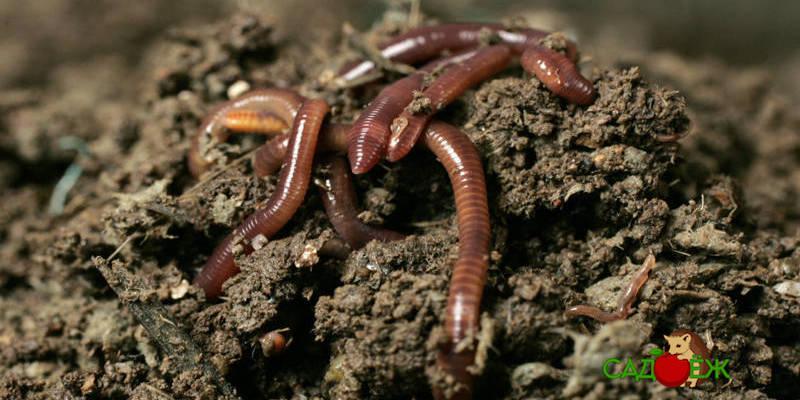 Как привлечь червей на участок?