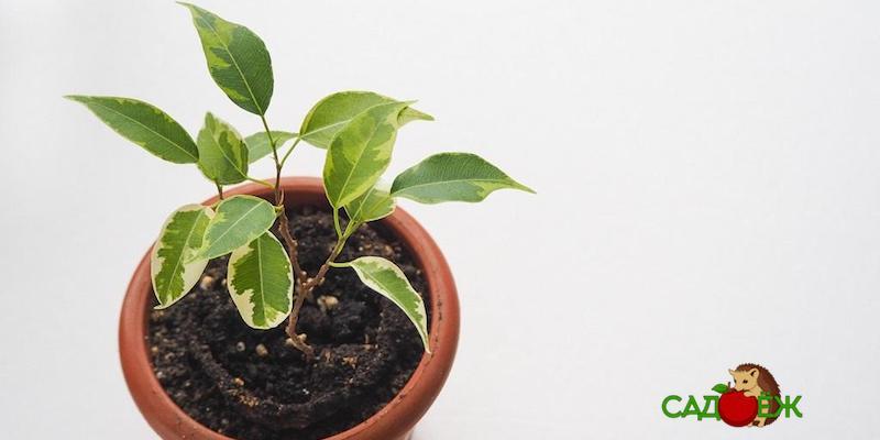 Уход за фикусом: что не любит растение?