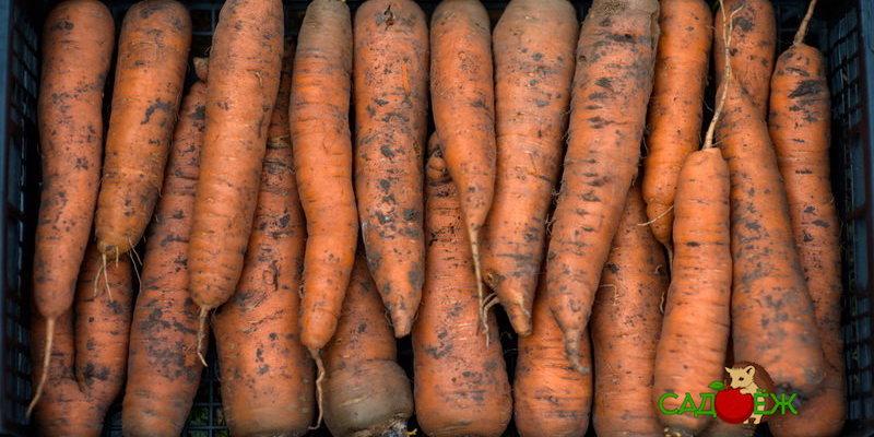 Морковь замерзла на балконе: что делать?