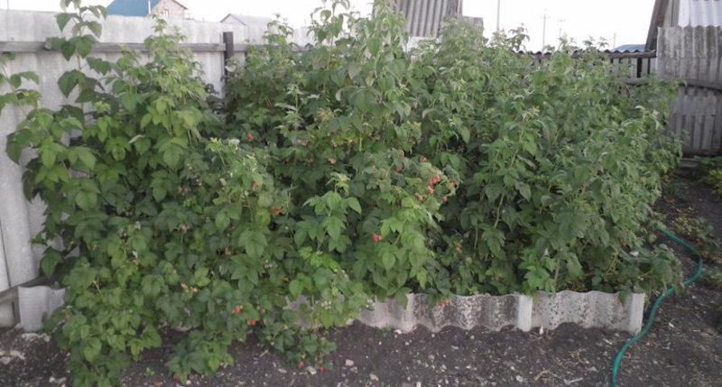 Как и чем огородить малину