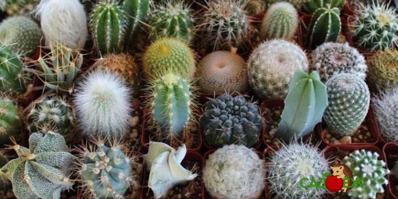 Уход за кактусами в домашних условиях: что делать нельзя?