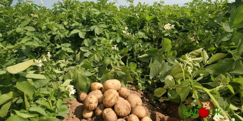 Как подготовить картофельное поле к зиме?