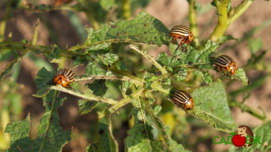 Профилактика колорадского жука в огороде