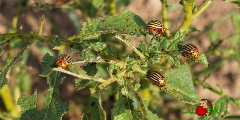 Защита картофеля от колорадского жука: профилактика появления колорадского жука в огороде