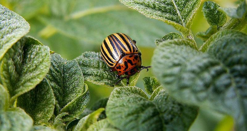 Горчичный порошок от колорадского жука