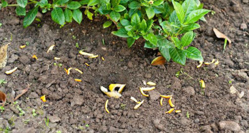 Мандариновые корки от вредителей