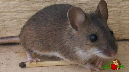 Как избавиться от мышей навсегда