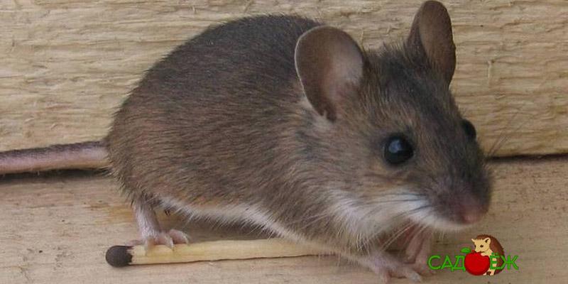 Как избавиться от мышей в доме гуманным способом