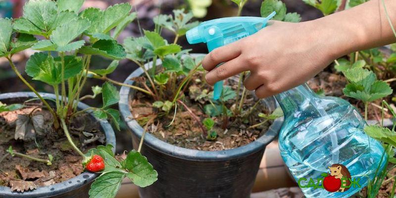 Чем обработать клубнику от вредителей осенью?
