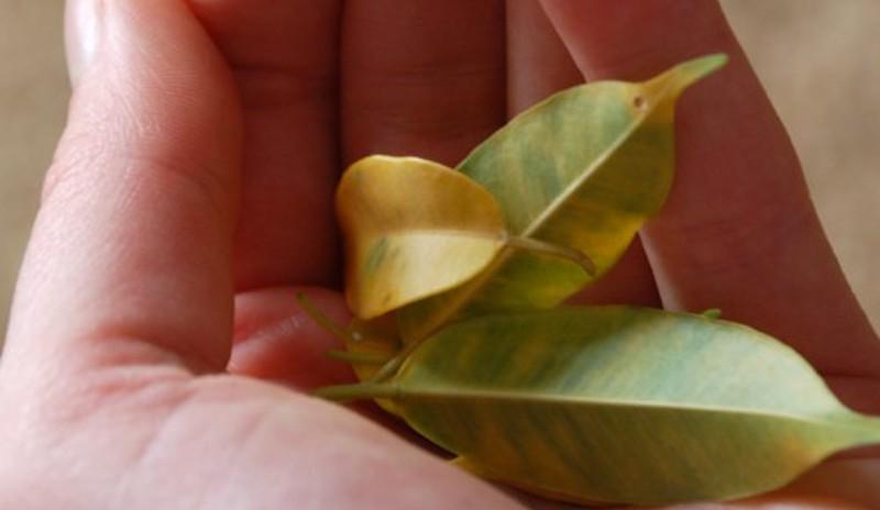 Опадают листья фикуса