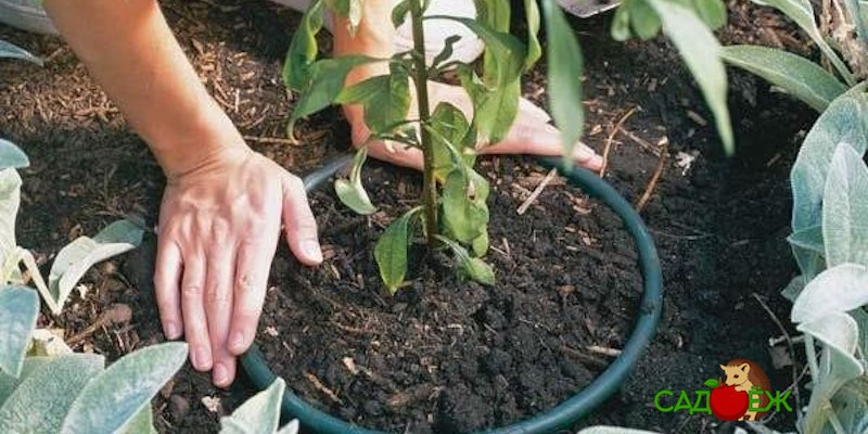Как использовать старое дырявое ведро в огороде?