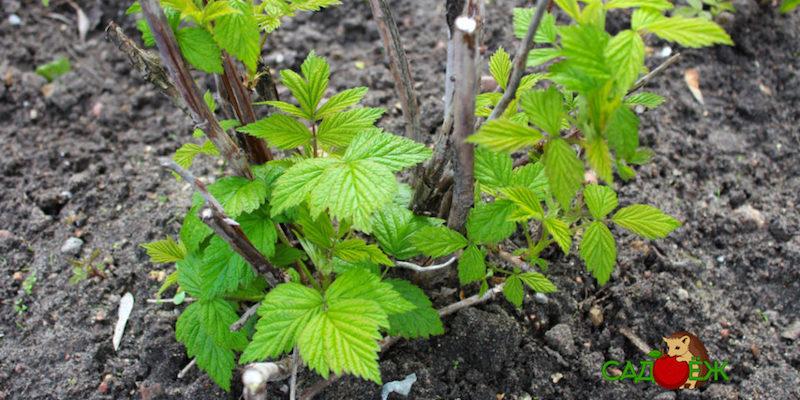 Как огородить малину, чтобы она не разрасталась?