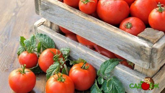 Посадка помидоров осенью
