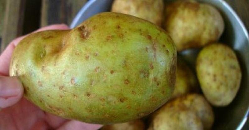 Позеленел картофель