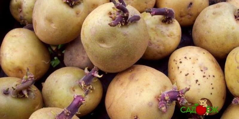 Можно ли есть проросший картофель?