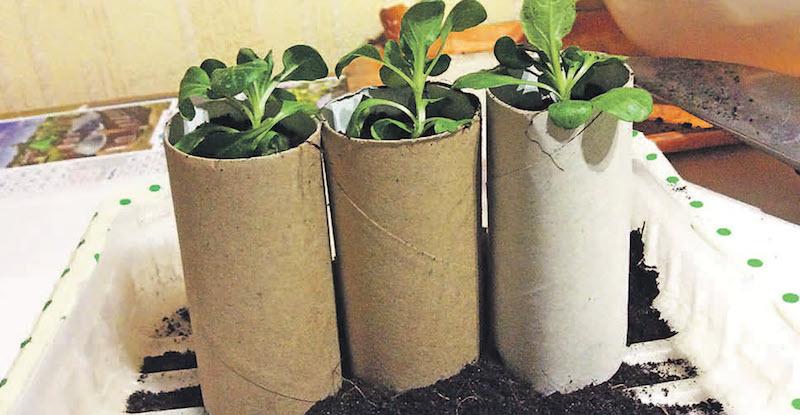 Выращивание рассады во втулках от туалетной бумаги