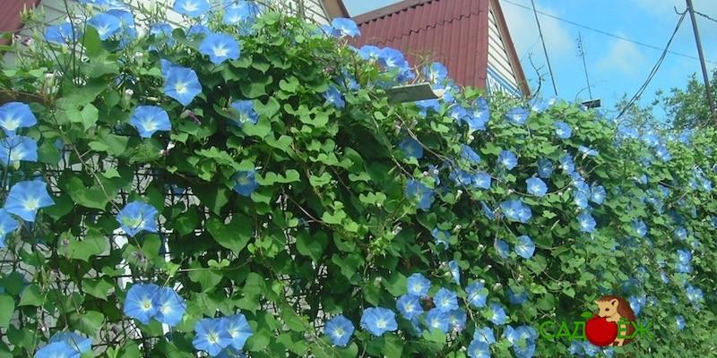 Растения-лианы для дачи