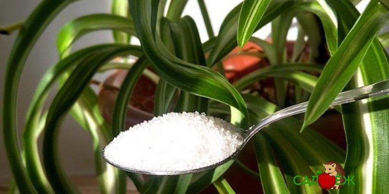 Сахарная подкормка для комнатных растений
